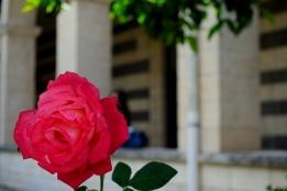 Basilica San Pietro di Sorres: Rosa nel Chiostro – Foto di Sardegna Terra di Pace – Tutti i diritti riservati